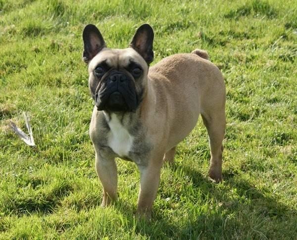 Quanto Tempo Vivono I Bulldogs Francesi Mondo Bulldog