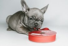 addestrare bulldog francese